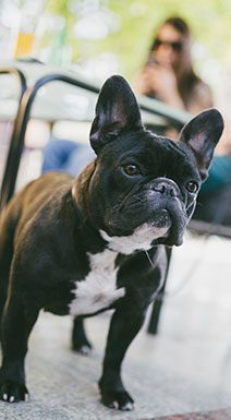 Close up of black french bull dog on street